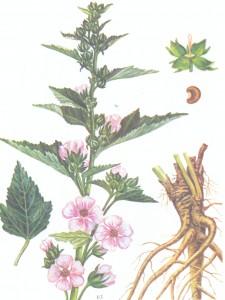 лекарственные травы и их применение в косметологии