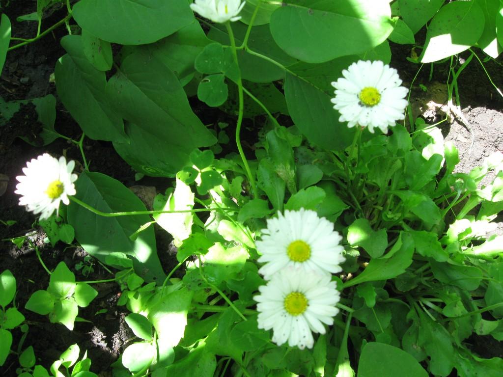 эстафета фото цветов - маргаритки